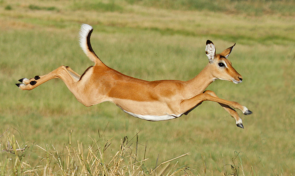 impala animal sound - 1024×612